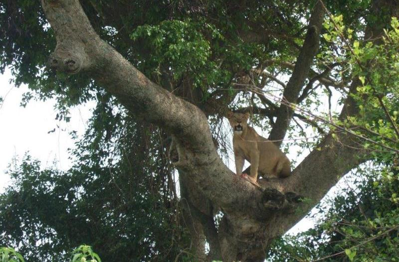 Tree climbing lions - Green Breaks Safaris