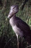 SHOEBILL (Balaeniceps rex) also known as whalehead or shoe-billed stork
